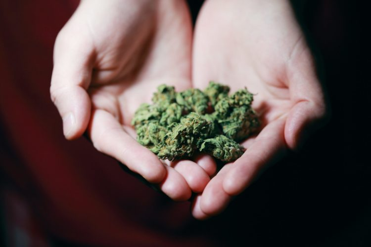 A pair of hands hold a small amount of cured cannabis