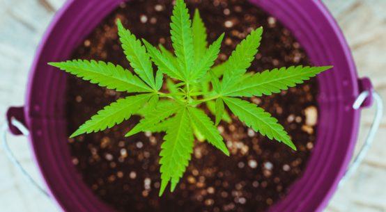 a small cannabis plant